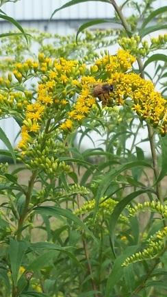 8-17-2015  Honey Bee on Goldenrod