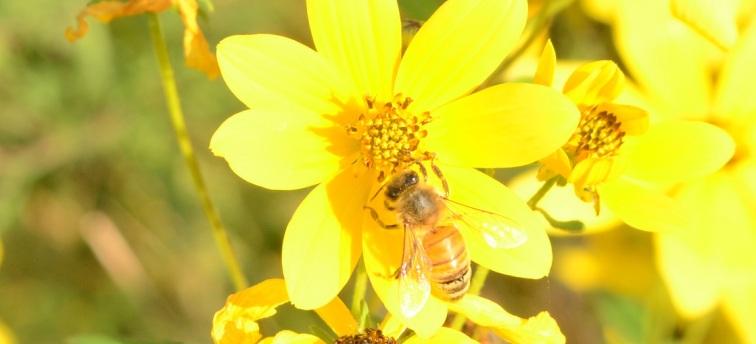 GoldenHoneybee