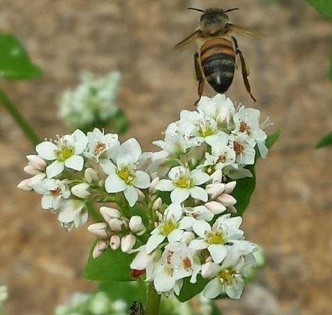 honeybeebuckwheat2015Illflyaway