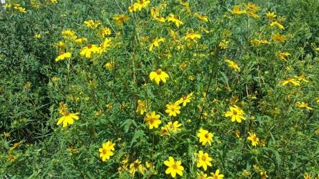 woodlandsunflower2015