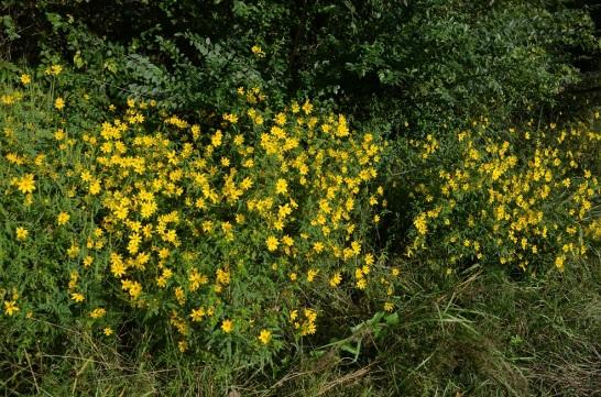Woodlandsunflowerdownbythehighway9-8-2015